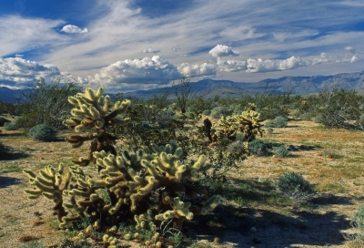 Teddy Bear Cholla In The Desert