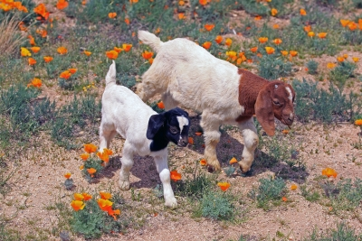 Goats And Poppies