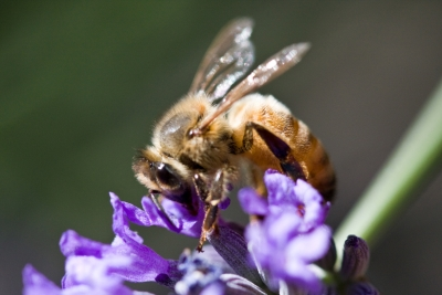 Bee For Pollination