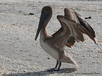 Pelican Wings