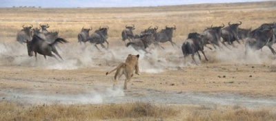 Lioness And Wildebeests
