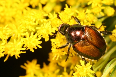 Japanese Beetle On Goldenrod