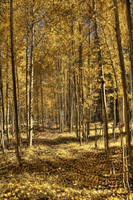 Aspens Surround A Faint Trail In The Coconino National Forest Arizona