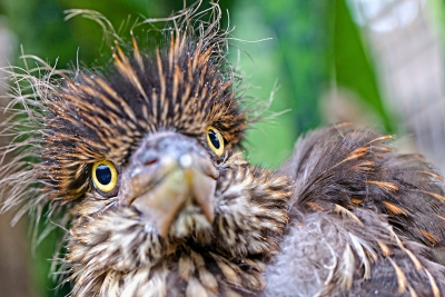 Baby Black-crowned Night Heron