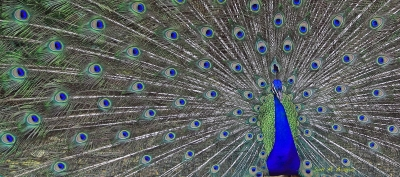 Electric Peacock