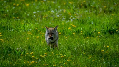 Coyote With Vole