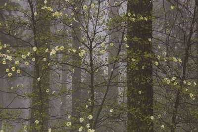 Dogwoods In Sequoia Forest