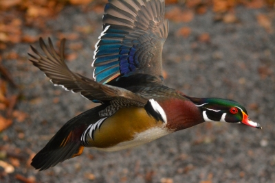 Wood Duck Fly By