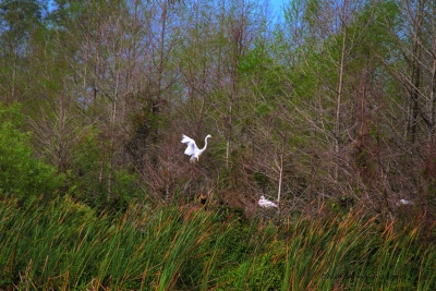 Great Egret Breeding Season