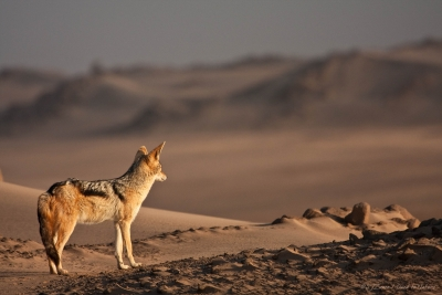 Black-backed Jackal's Golden View