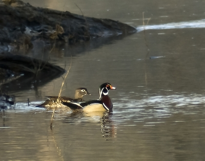 Woodduck Couple In Early Morning
