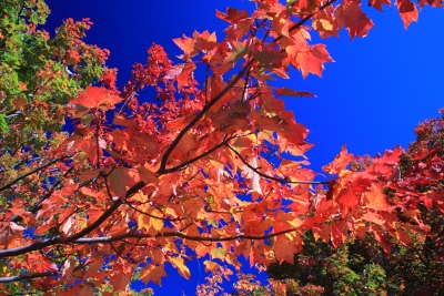 Maple In Fall
