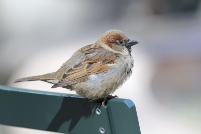 Resting Sparrow