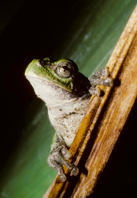Gray Treefrog On Iris Leaf