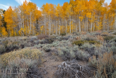 Aspens And Desert