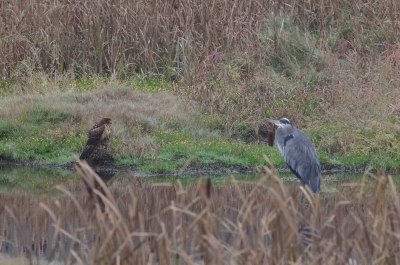 Great Blue Heron And Harris Hawk