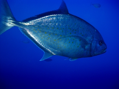Trevally Passing By Quickly