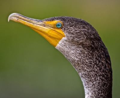 Young Cormorant Portrait