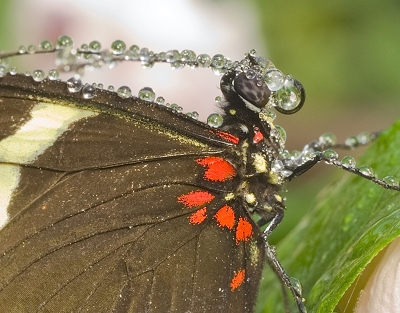Dew On Small Postman Butterfly