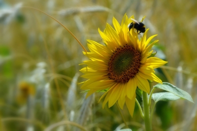 Sunflower Visited By A Bumble Bee