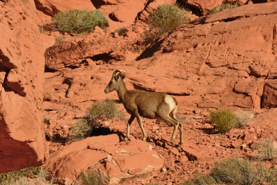 Big Horn Shep In Th Valley Of Fire
