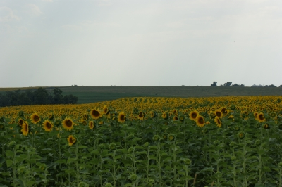 Fild Of Sunflowers