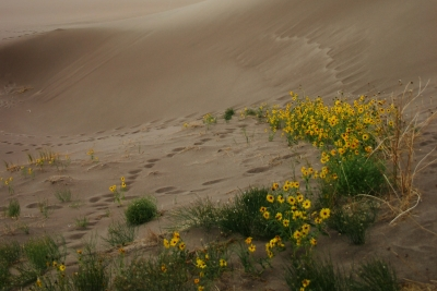 Sunflowers In Dunes