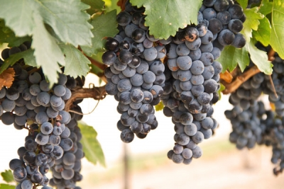 Tempranillo Ready For Harvesting