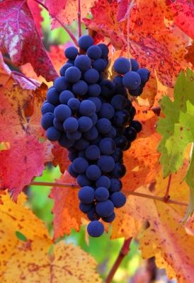 Tempranillo After The Fitst Frost