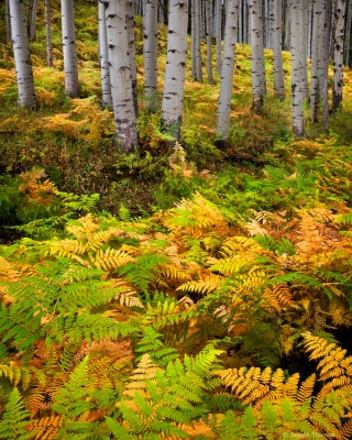 Ferns And Aspen Boles