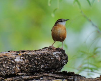 Carolina Wren In Texas