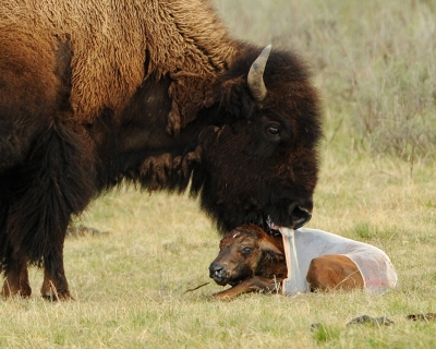 Bison Cleaning The Calf