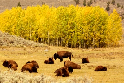 Fall Colored Bison