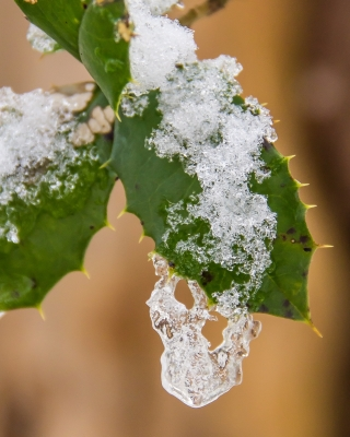 Frozen Holly