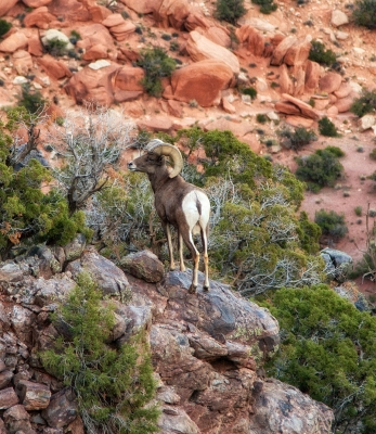 Male Bighorn On The Lower Monument Trail