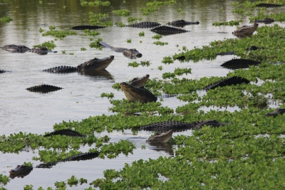 Male Gators Bellowing