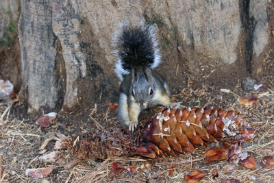 Gray Squirrel Munches Giant Pine Cone