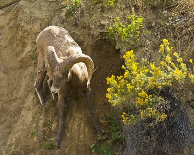Big Horn Sheep Losing Its Footing