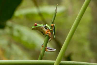 Climbing Red Eyed Tree Frog