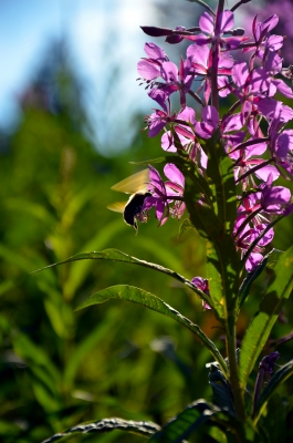 Fireweed And The Bee