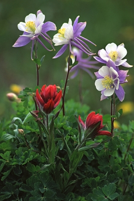 Columbine And Indian Paintbrush