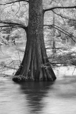 Big Cypress And Breeze In An Ozark Swamp