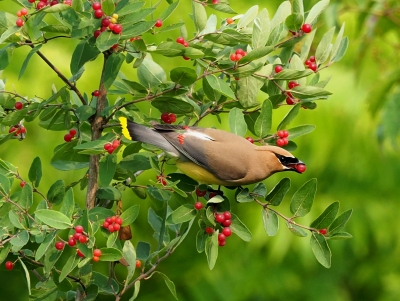 Cedar Waxwing With A Berry