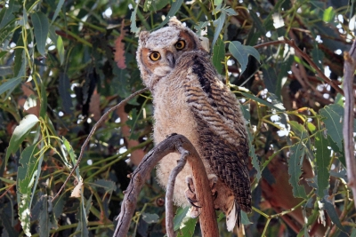Yount Horned Owl At Rush Ranch
