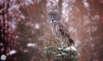 Great Grey Owl In Falling Snow