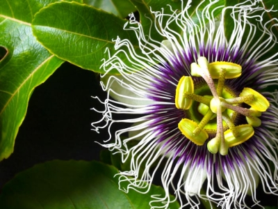 Liliko'i Passion Fruit Flower