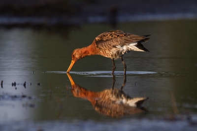 Black-tailed Godwit @ Sunset