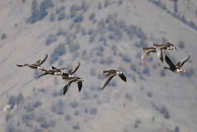 White Fronted Geese