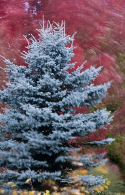 Blue Spruce In The Wind