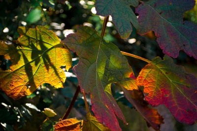 Backlit Oak-leaf Hydrangea